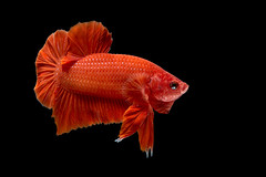 betta fish (da nokkaew) Tags: red pet fish black color eye nature water beauty swimming aquarium colorful background exotic tropical pace aquatic fighting betta isolate