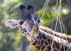 Giraffe munching down (San Diego Shooter) Tags: sandiego giraffe sandiegozoo giraffeeating