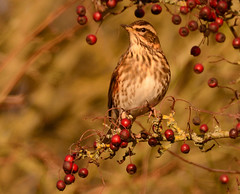 Redwing (Severnrover) Tags: bird berries hawthorn thrush redwing