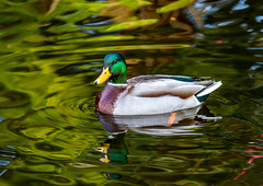 Mallard-Duck-2 (Rob Green - SmokingPit.com) Tags: park lake male bird birds swimming canon point pond dusk 7d mallard fowl pt waterfowl defiance 70200mm