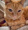 Molly Portrait (I) (gtncats) Tags: cat bigeyes feline tabby orangetabby felinefaces photographyforrecreation canonpowershotg16 infinitexposure