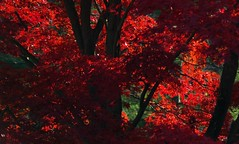 Crimson Tree (Violet aka vbd) Tags: pentax k3 vbd smcpentaxda55300mmf458ed ct connecticut maple tree trumbull crimson newengland fall fallcolor autumn 2014 fall2014 botanical explored red leaf leaves foliage