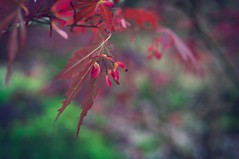 Acer Seeds (pigpogm) Tags: wallpaper leaves japanesegarden leaf maple photos bokeh seed seeds acer voigtlander40f14 mxpp classiccolourflim