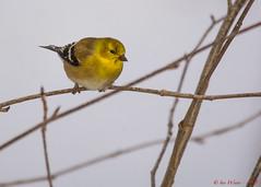 Americian Goldfinch-30 (Ian L Winter) Tags: canada bird birds animals newfoundland stjohns countries boweringpark amerciangoldfinch