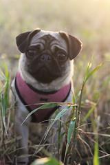 Willow (backstothewall) Tags: dog sun pug