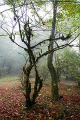 Fall Leaves Under Dancing Tree (shumpei_sano_exp8) Tags: fall iran automn jungle mazandaran ایران پاييز ايران پاییز جنگل