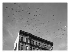 (Gene Daly) Tags: newyorkcity blackwhite pigeons genedaly panasoniclumixg20mmf17asph pc270074 olympusem5