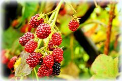 Beeren - Berries (Karabelso) Tags: red rot fruits garden berries sony beeren garten früchte