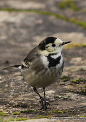 IMG_6342 (Terry Sims, back in business !) Tags: birds garden pied wagtail