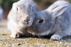 (GenJapan1986) Tags: travel rabbit animal japan hiroshima      2015    nikond610