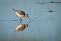 Miroir. (danquier55) Tags: des animaux oiseaux domaine charadriiformes commongreenshank tringanebularia mazres chevalieraboyeur scolopacids