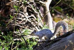 2016-04-24 17.09.45-1.jpg (michaelbbateman) Tags: wildlife squirel