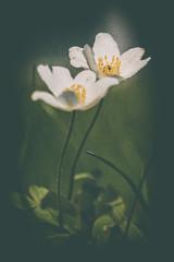 Wood anemone (Pilleluringen) Tags: flowers flower green nature sweden depthoffield gras woodanemone