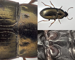 Amara tibialis (Martin Cooper Ipswich) Tags: grass collage insect suffolk beetle ground compost ipswich amara ballpoint coleoptera focusstack carabidae tibialis sunshiner taxonomy:binomial=amaratibialis amaratibialis