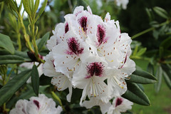 IMG_3019.JPG (robert.messinger) Tags: flowers rhodies