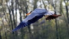 Airone La Torbiera (tonipario) Tags: zoo la airone torbiera airon