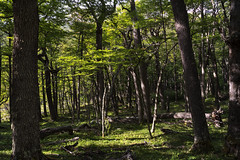 In Search of the Black Carpintero (courtney_meier) Tags: chile trees patagonia forest bosque torresdelpaine beech nothofagus temperateforest cordillerapaine patagonianbeech valledelosperros
