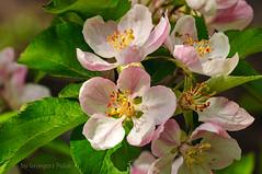 Springtime (Grzesiek.) Tags: nature spring wiosna kwiat jabo kwitn