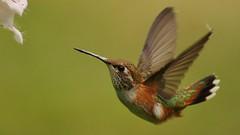 female Rufous Hummingbird (Greatblue1) Tags: rufoushummingbird selasphorusrufus richmondbc birdinginbritishcolumbia