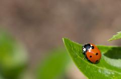 Glckskferle (TommyWHV) Tags: macro canon germany deutschland eos outdoor natur makro insekt marienkfer coccinellidae 700d