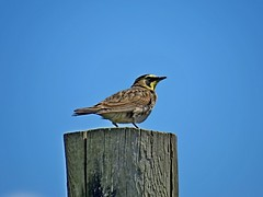 Horned Lark, Kittitas County, WA 5/2/16 (LJHankandKaren) Tags: lark hornedlark