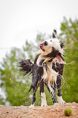180 degrees (Anda74) Tags: ouzo bordercollie shake action canonef50mmf14usm chatfield 2012 4yearsago archive explore
