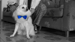 The wedding (Riccardo Malorni - The Light Hunter) Tags: blue wedding party blackandwhite bw dog pet cute home girl animal puppy little sweet bokeh indoor papillon only pomeranian bestman preparing italiano elegance volpino