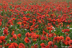 Campo de amapolas -  Poppy field (Eva Ceprin) Tags: flowers red plants naturaleza flores verde green nature landscape rojo plantas outdoor paisaje poppies campo airelibre amapolas poppyfield campodeamapolas nikond3100 tamron18270mmf3563diiivcpzd evaceprin