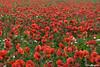 Campo de amapolas -  Poppy field (Eva Ceprián) Tags: flowers red plants naturaleza flores verde green nature landscape rojo plantas outdoor paisaje poppies campo airelibre amapolas poppyfield campodeamapolas nikond3100 tamron18270mmf3563diiivcpzd evaceprián