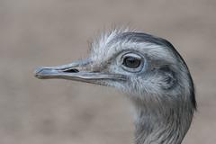 Greater rhea 2016-04-06-0241 (BZD1) Tags: nature animal natuur aves rheaamericana cho rhea greaterrhea neornithes rheidae rheiformes palaeognathae
