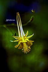 Golden Magic (haidarism (Ahmed Alhaidari)) Tags: plant flower macro art nature yellow artistic bokeh outdoor magic ngc creative depthoffield creation bud create macrophotography goloden sonya65