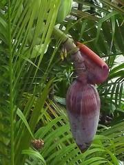 Musa spec 1 (heinvanwinkel) Tags: malaysia juli 2009 rawa musaceae banaan liliopsida magnoliophyta zingiberales spermatophyta tracheophyta commelinids euphyllophyta mesangiospermae musaspec bloemvandedag petrosaviidae