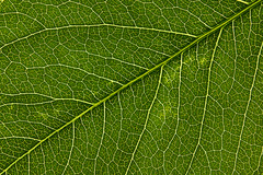 Back Lit Grape Vine Leaf (Wildman 60D) Tags: detail leaf sharp elements m42 grapevine lightroom backlitleaf justleaves macromondays 11383 grapevineleaf yn565