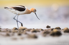 American Avocet ( Recurvirostra americana) (Wildlife, Landscape & Cultural) Tags: wild canada bird nature beauty birds animal animals nikon outdoor wildlife american alberta americana nikkor 500mm americanavocet avocet recurvirostraamericana recurvirostra kinan tc14 d4s kinanechtay echtay