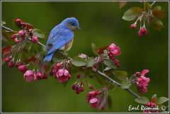 More Bluebirds (Earl Reinink) Tags: blue ontario bird nikon niagara earl bluebird birdphotography nikond5 easterbluebird earlreinink reinink eitdiaodra