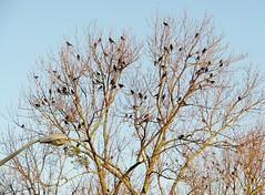 Sturnus vulgaris --  Starlings 4936 (Tangled Bank) Tags: bird america south roadtrip american roadside dixie starlings vulgaris sturnus 4936