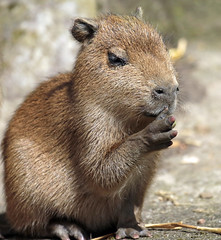 Capibara ouwehands JN6A1870 (j.a.kok) Tags: capybara ouwehands capibara