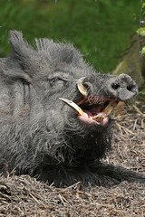 Boar wild with denture problem 26.5.2016 (1) (Margaret the Novice) Tags: boar