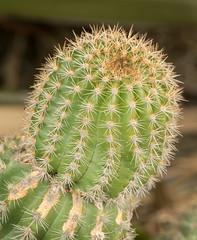 20160621_0129_7D2-100 Cactus in the red zone (johnstewartnz) Tags: canon eos 100mm newbrighton 100mmmacro yabbadabbadoo apsc 7d2 unlimitedphotos 7dmarkii canonapsc