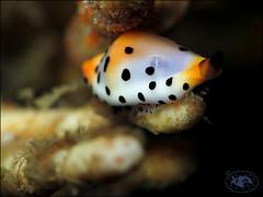 Platypus Egg Cowrie (Cuspivolva platysia) (Brian Mayes) Tags: canon underwater shell australia scuba diving pipeline nelsonbay 1744 g16 brianmayes alliedcowrie cuspivolvaplatysia canong16 platypuseggcowrie