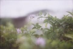 Rainy mornings. (larissanunesdealbuquerque) Tags: plant flower film nature rain riodejaneiro analog forest lomography woods rainforest rainyday kodak rainy zenit analogue analogphotography forester kodakfilm filmphotography zenit12xp analogphotograph filmphotograph