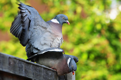 DSC_4710 Pigeons (PeaTJay) Tags: birds outdoors reading pigeon pigeons tamron berkshire gardenbirds lowerearley nikond300s
