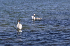 """Let me introduce my wife and children"" (liisatuulia) Tags: swan porkkala kyhmyjoutsen"