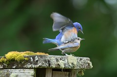 Love Birds! Western Bluebirds (Sialia mexicana) DDZ_4925 (NDomer73) Tags: bird june bluebird thrush champoeg 2016 westernbluebird champoegstatepark champoegstateheritagearea 11june2016