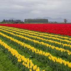 Tulip Field (rahmivolkan) Tags: seattle flowers washington tulips farm pacificnorthwest pugetsound lonelyplanet pnw skagitvalley tulipfestival lale cicek fullbloom visitseattle lovetheworld thecoolhunter beautifuldestinations bbctravel ink361 passionpassport cntraveler mytinyatlas pnwonderland guardiancities livewashington guardiantravelsnaps huffpostgram tlpicks roamtheplanet