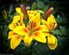 Lillies Ensoleille [1600] (mjardeen) Tags: macro texture washington petals pattern lily sony cluster tube 85mm 9 sunny lilies stamen wa tacoma extension pollen jupiter 10mm a7ii nikcolorefex 2 a7m2 jupiter985mm2