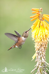 IMG_8408_edit_resized_wm (Lisa Snow Photography) Tags: hummingbird