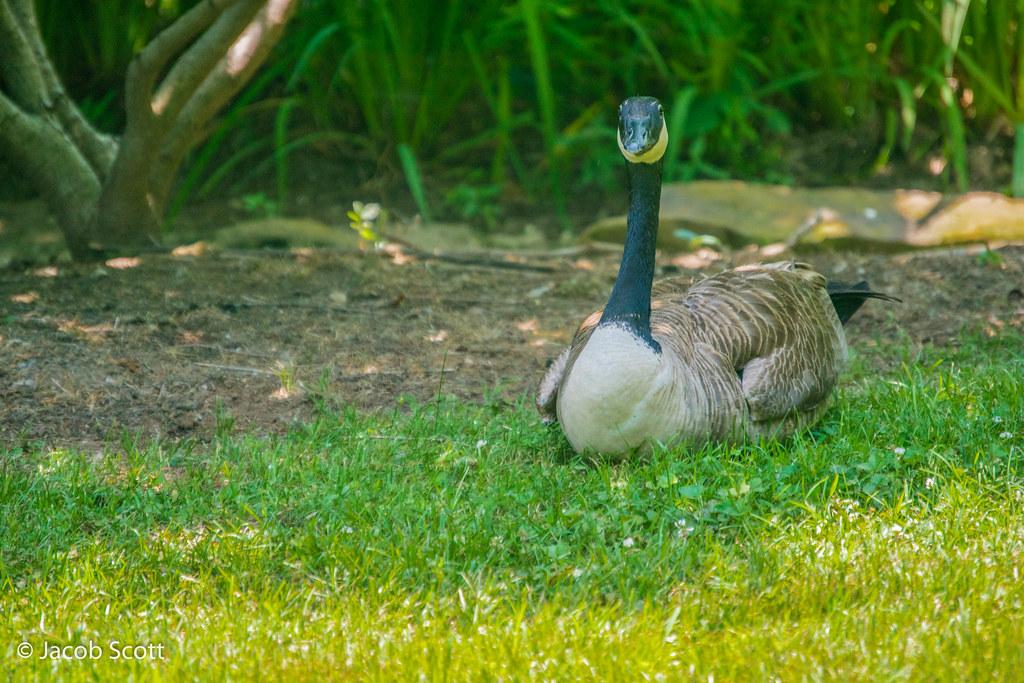 canada goose quebec