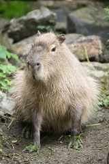 2016-06-27-11h01m47.BL7R2674 (A.J. Haverkamp) Tags: canonef100400mmf4556lisiiusmlens rhenen zoo dierentuin thenetherlands httpwwwouwehandnl ouwehandsdierenparkrhenen capybara