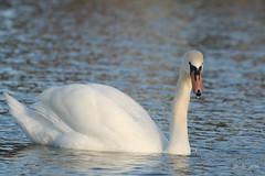 IMG_0216_k - Swan - Zwaan (Monique van Gompel) Tags: swan swans zwaan zwanen watervogel